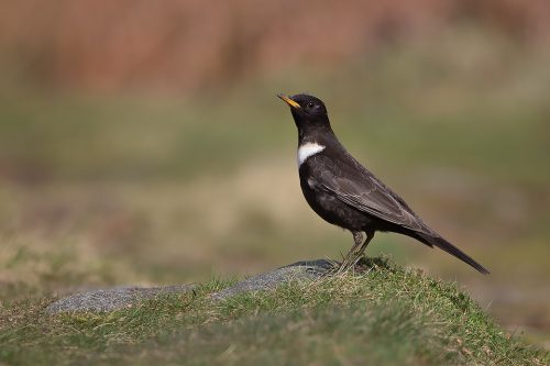 The Ring Ouzel – Peak District Wildlife Photography