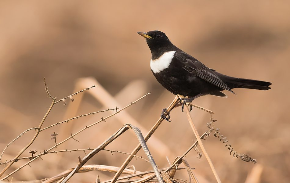 Ring Ouzel - Peak District Wildlife Photography