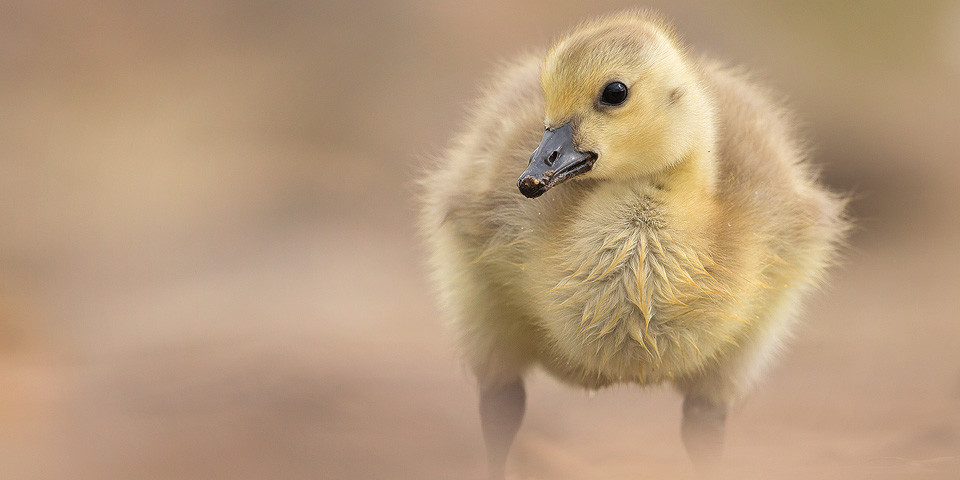 Wildlife Photography Workshop - Canada Goose Gosling