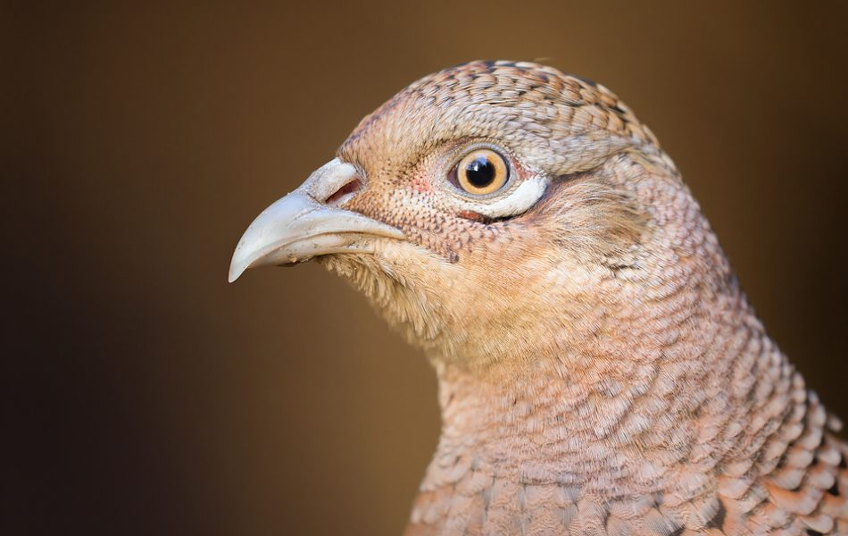 Female Pheasant Portrait - Yorkshire Wildlife Photography