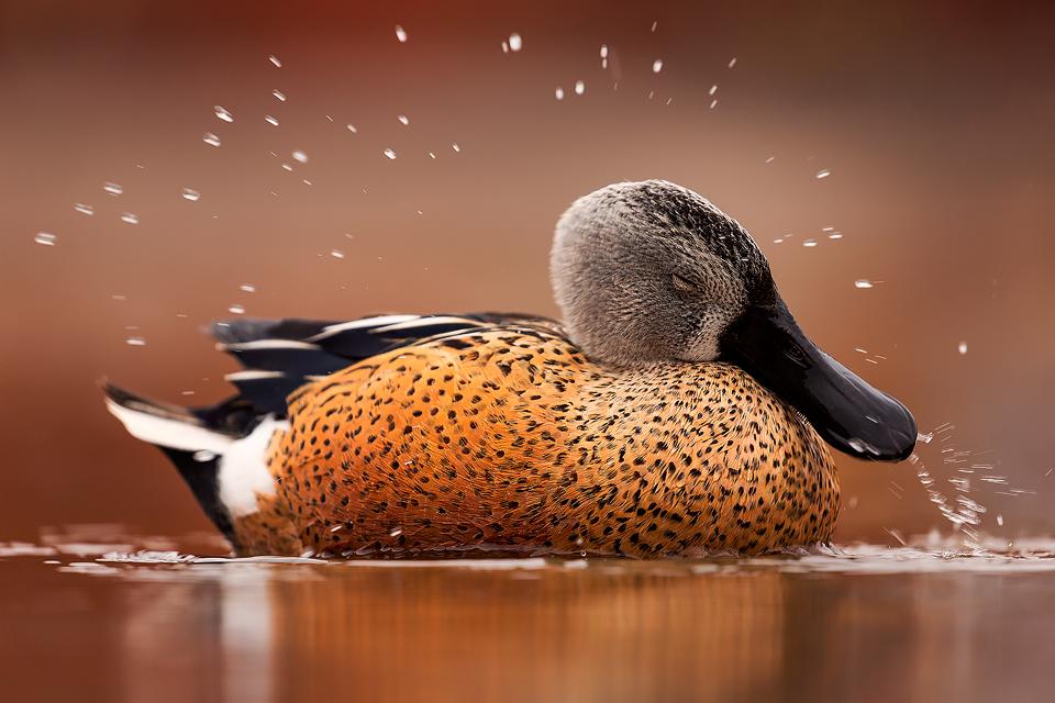 Waterfowl Photography Workshop - Shoveler
