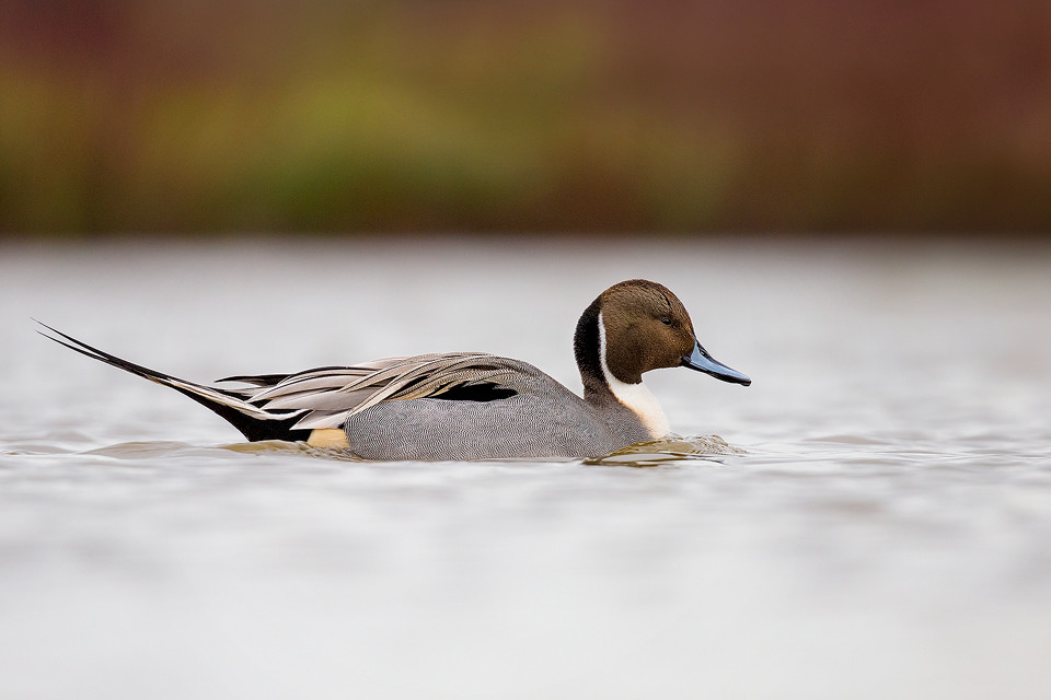 Waterfowl Photography Workshop - Northern Pintail