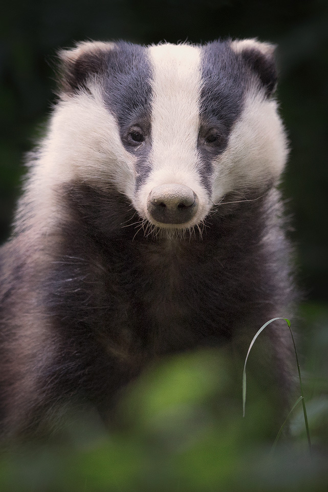 Badger Close up
