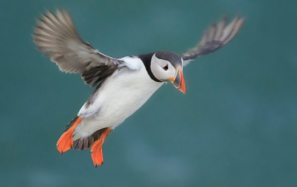 Puffin In Flight, Bempton Cliffs - Yorkshire Wildlife Photography