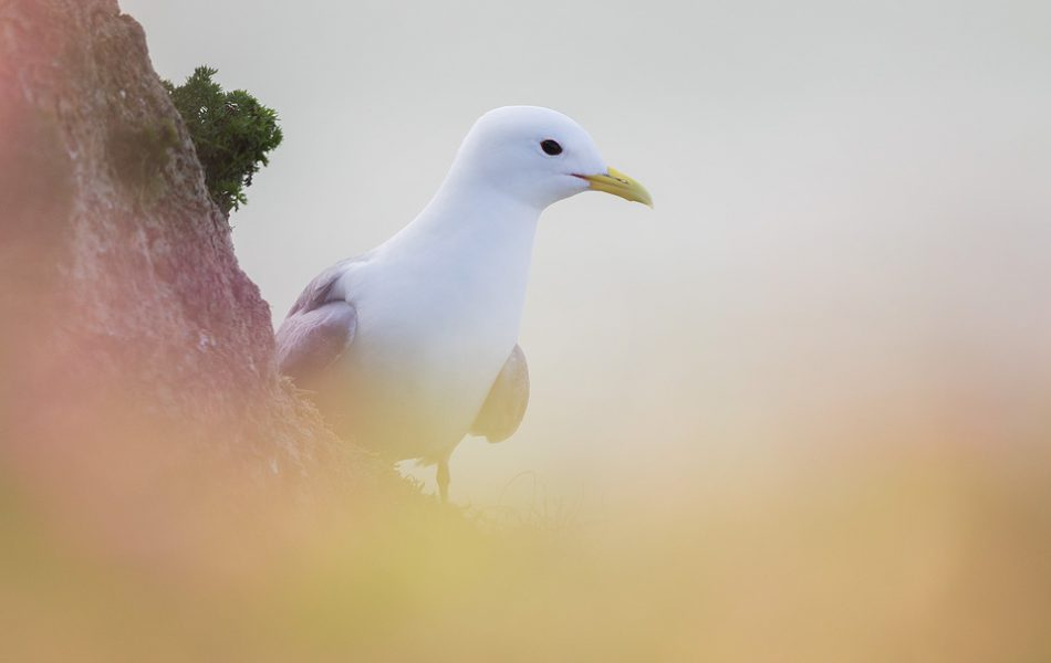 Kittiwake portrait, Bempton Cliffs - Yorkshire Wildlife Photography