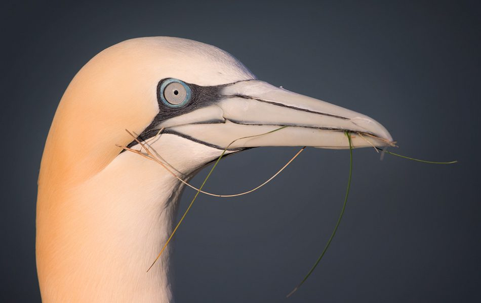 Gannet with nesting materials, Bempton Cliffs - Yorkshire Wildlife Photography