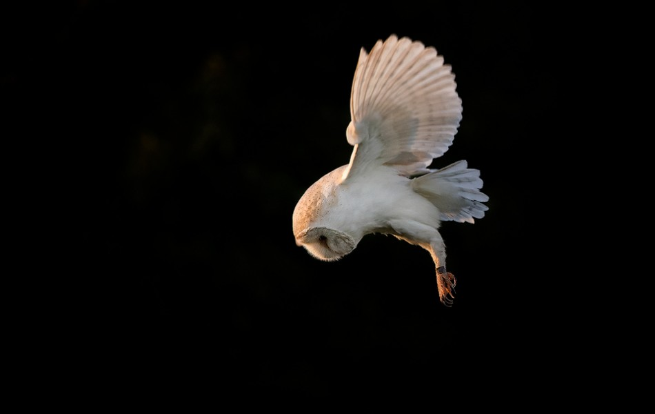 Backlit Barn owl on Black