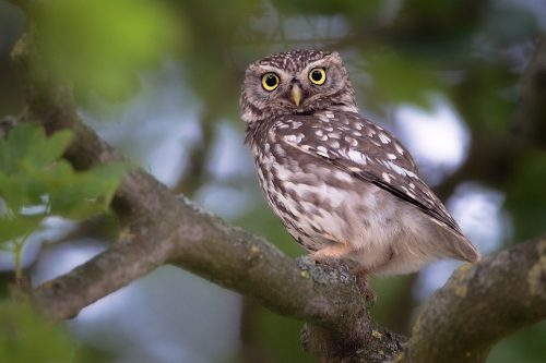 Little Owl Eyes – Peak District Wildlife Photography