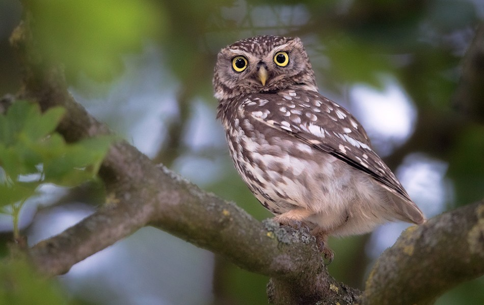 A pair of big beautiful yellow eyes staring down at me from the tree canopy, little owls have so much character!