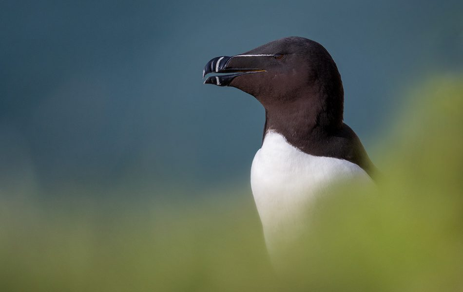 Razorbill Portrait, Bempton Cliffs - Yorkshire Wildlife Photography