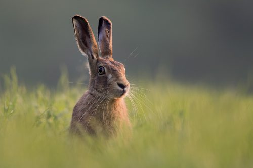 Summer Brown Hare
