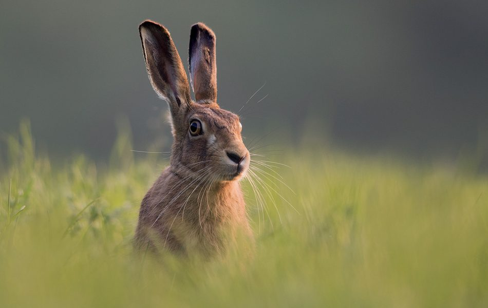 Brown hare in long grass