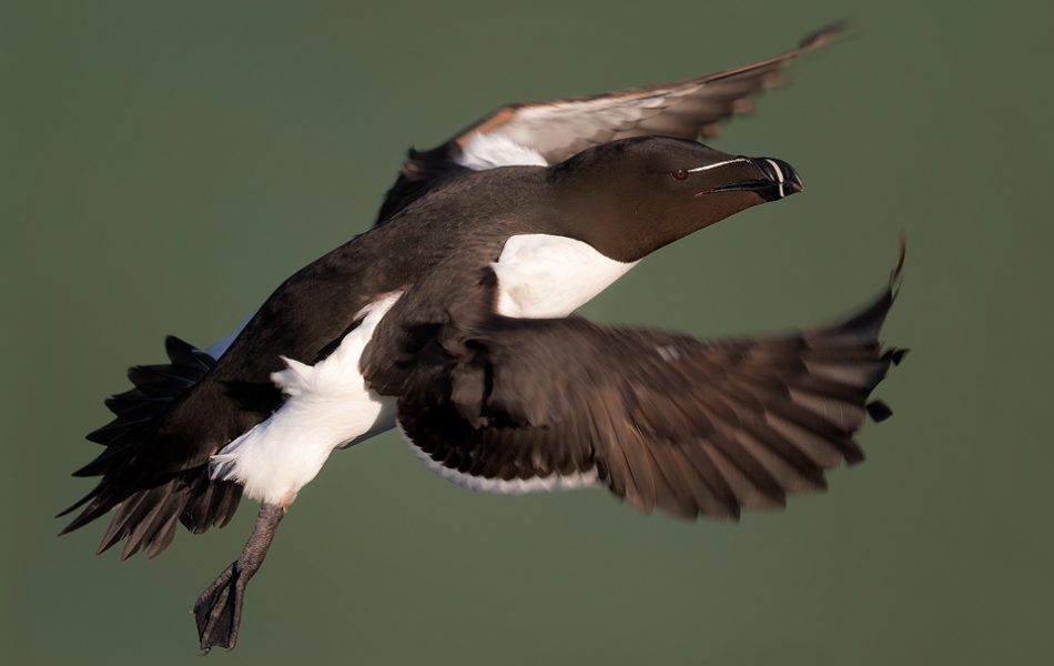 Razorbill in flight, Bempton Cliffs - Yorkshire Wildlife Photography