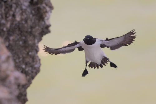 Razorbill Coming in to Land
