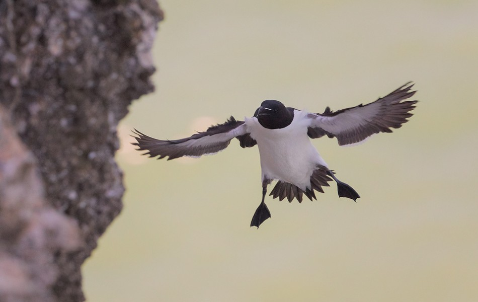 Razorbill in mid-flight, coming in to land on the chalk cliffs at Bempton Cliffs RSPB.