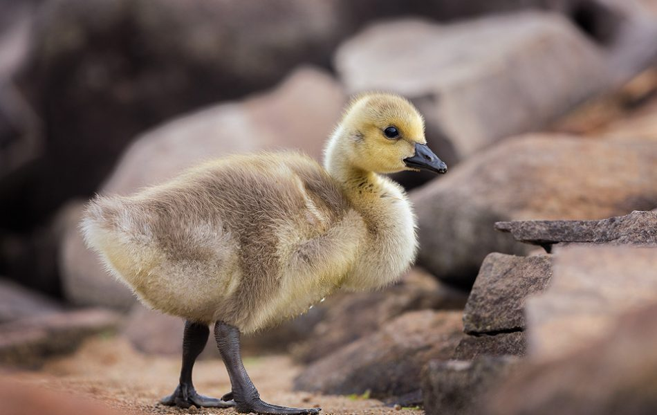 Canada Goose Gosling on the shore, Peak District Wildlife Photography.