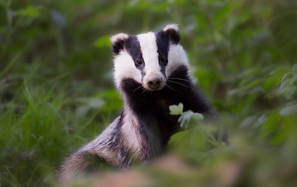 Emerging Badger, Peak District Wildlife Photography