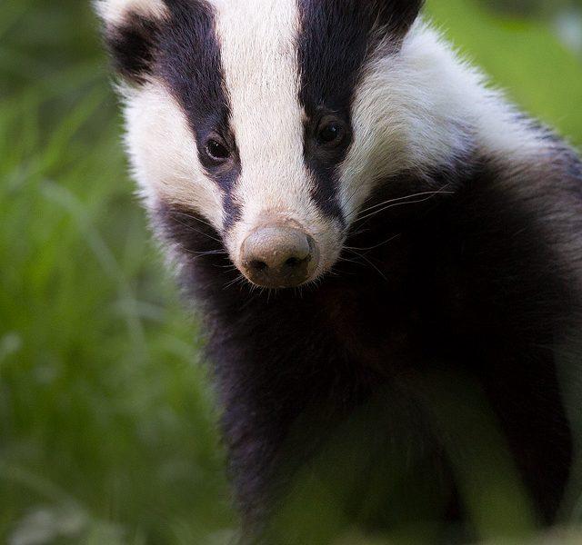 Badger, Peak District Wildlife Photography
