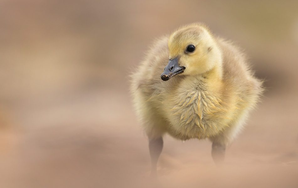 Fluffy Canada Goose Gosling, Peak District Wildlife Photography.