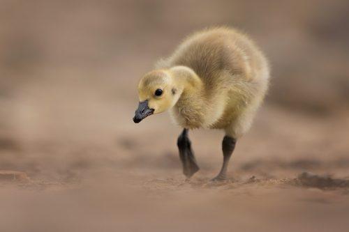 Canada Goose Gosling II