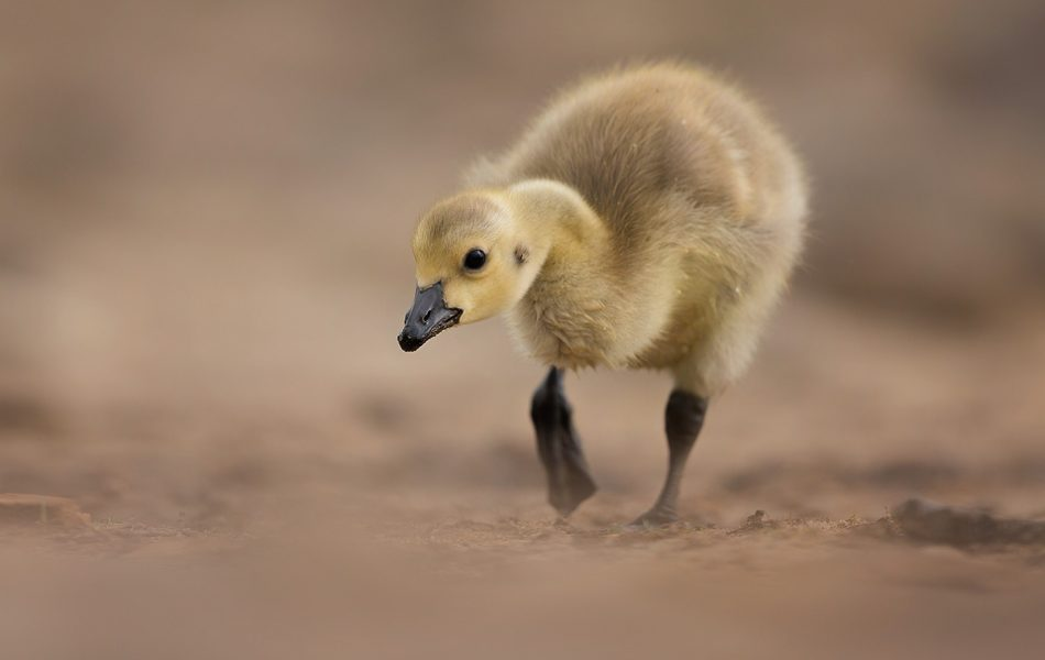 Canada Goose Gosling walking, Peak District Wildlife Photography.