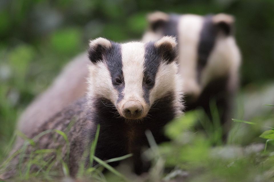 Badgers, Peak District Wildlife Photography