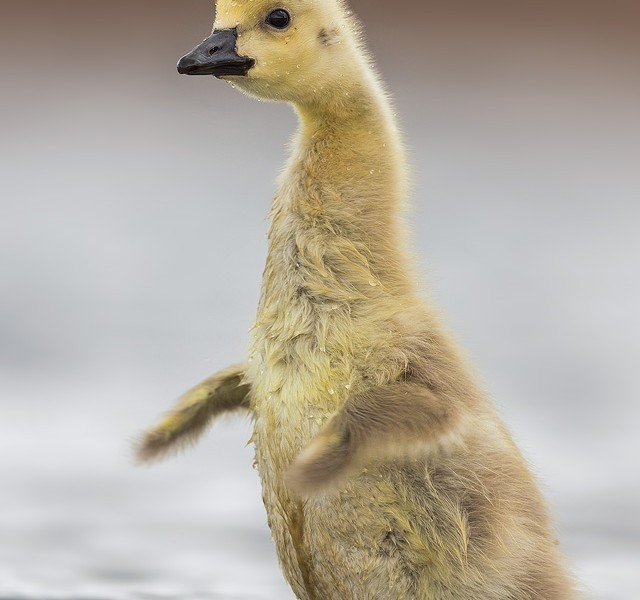 Canada Goose Gosling Flapping, Peak District Wildlife Photography.