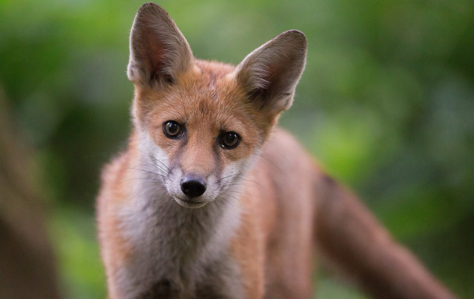 Red Fox Close Up - Peak District Wildlife Photography