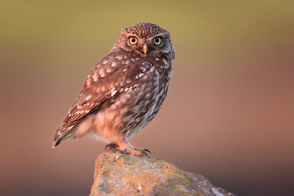 Little Owl at Sunset – Peak District Wildlife Photography