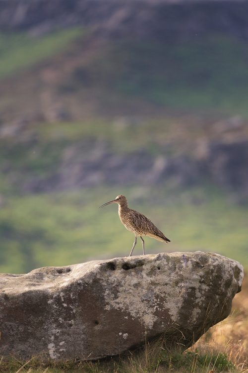 Curlew Habitat, Eastern Moors – Peak District Wildlife