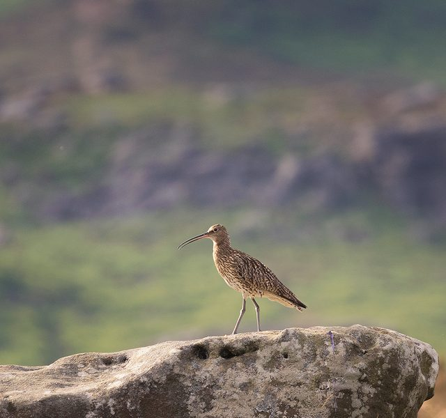 Curlew Habitat. Curlew on gritstone boulder in typical moorland habitat .Eastern Moors, Derbyshire - Peak District Wildlife Photography