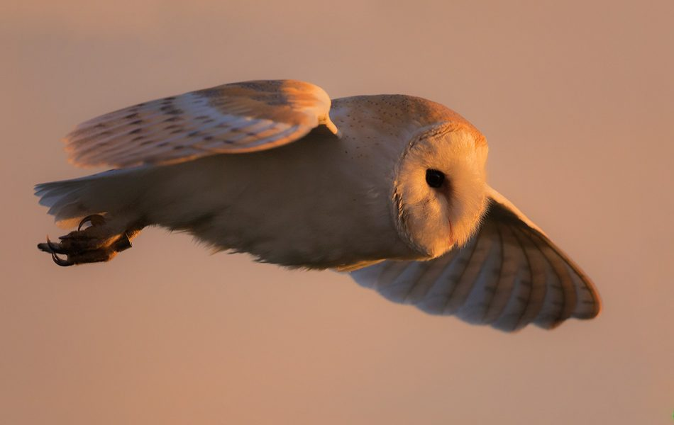 Barn Owl illuminated Mid Flight by the setting sun- Peak District Wildlife Photography
