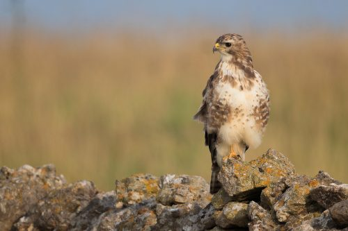 Young Buzzard Portrait – Peak District Wildlife Photography