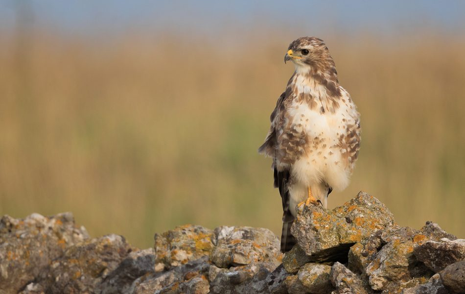 Young Buzzard perched on a drystone wall bordering farmland - Peak District National Park