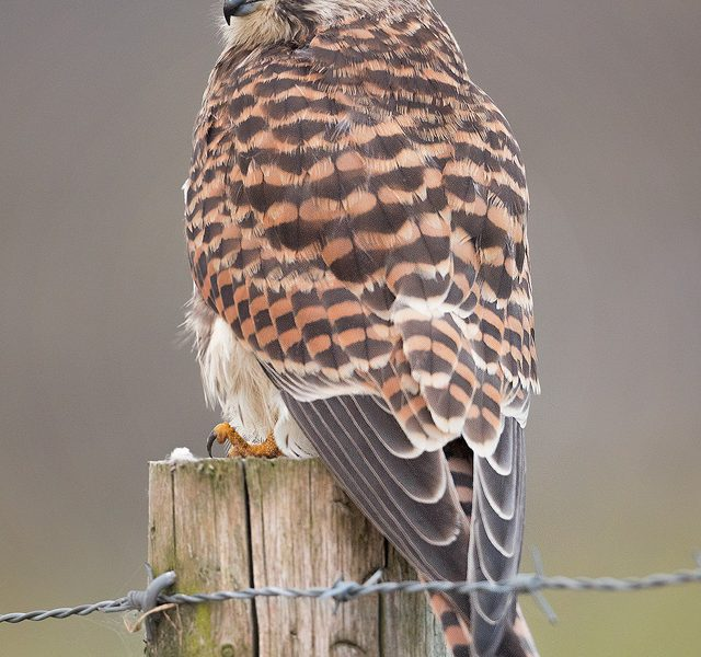 Female Kestrel Portrait - Peak District Wildlife Photography