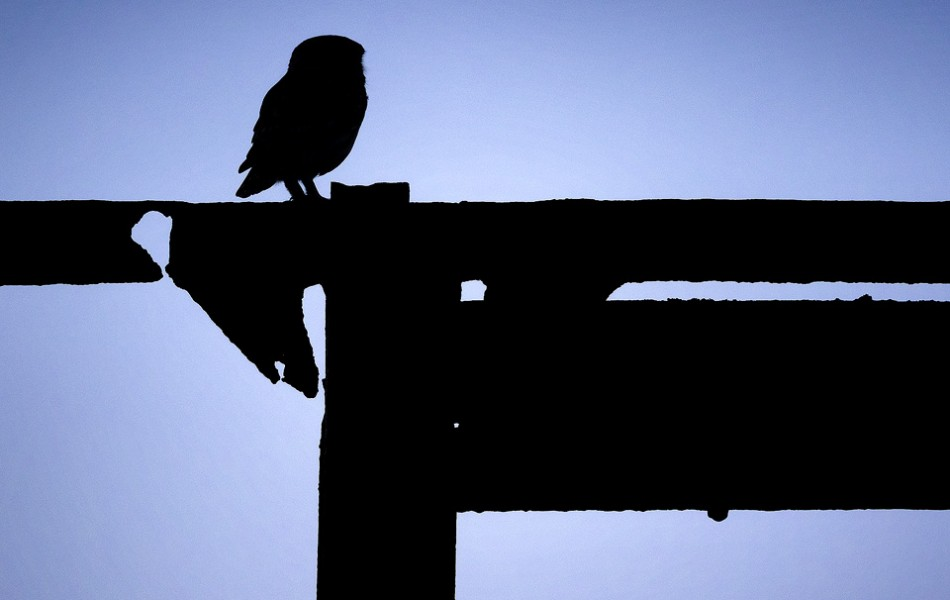 Little Owl Silhouette - Peak District National Park
