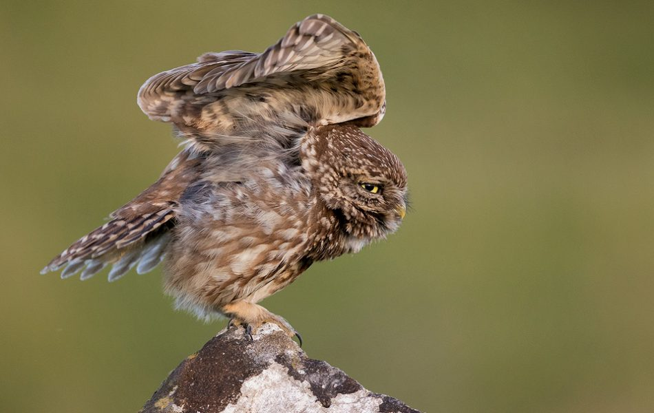 Stretching Little Owl - Peak District Wildlife Photography