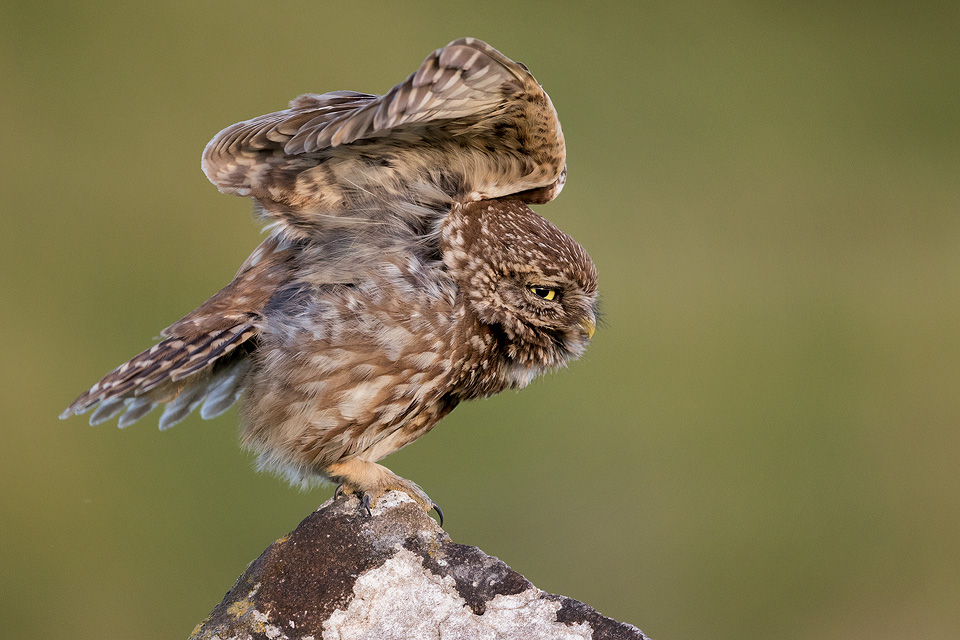 Stretching Little Owl – Peak District Wildlife Photography