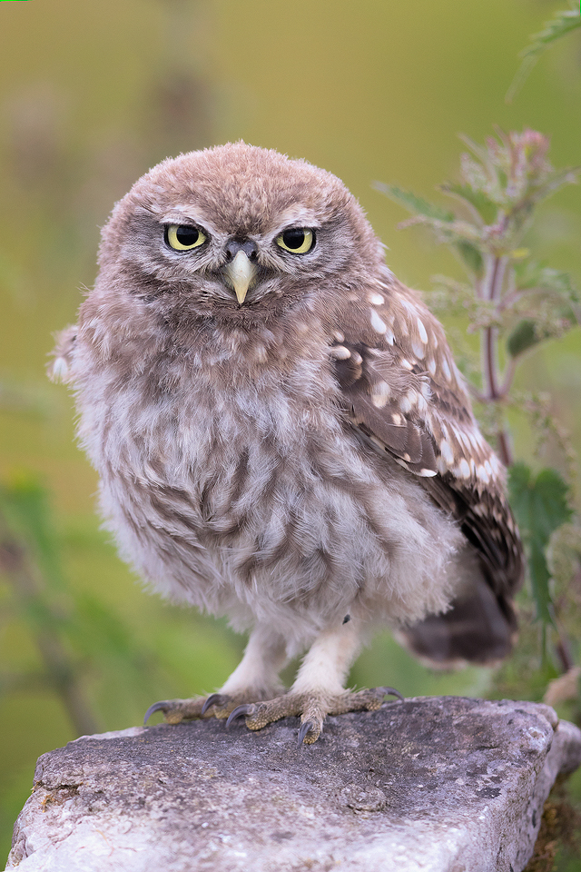 Little Owlet – Peak District Wildlife Photography