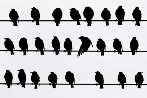 Birds on a Wire – Starlings