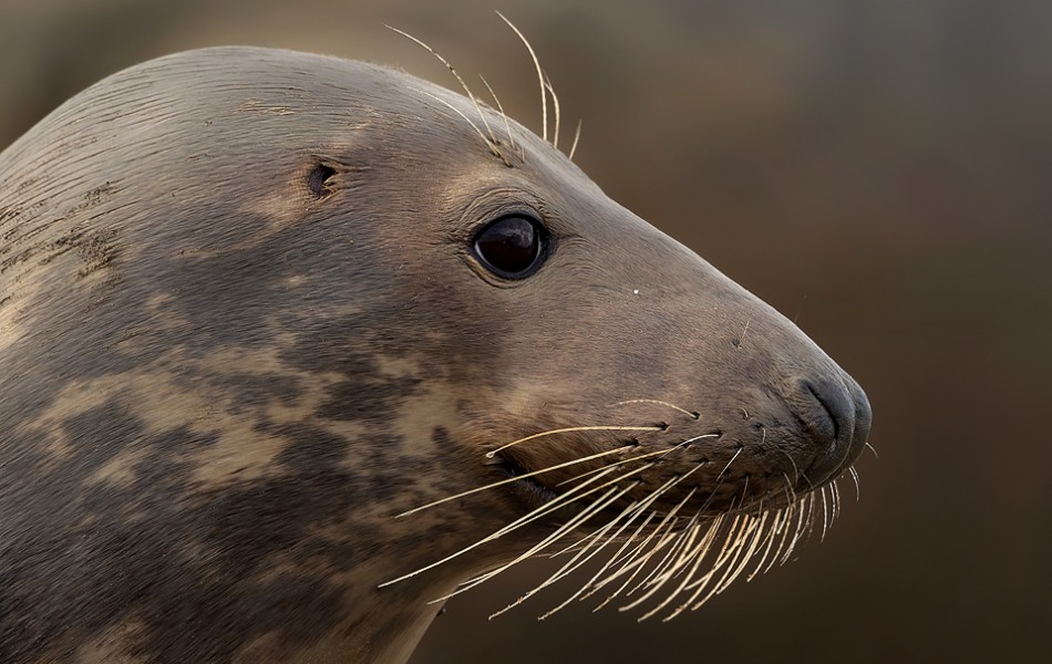 Female grey seal portrait - Lincolnshire photography