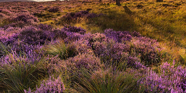 Lawrence Field in Bloom - Moorland grass and ling heather