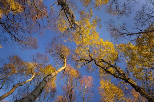Bolehill Quarry Autumn Birch Trees