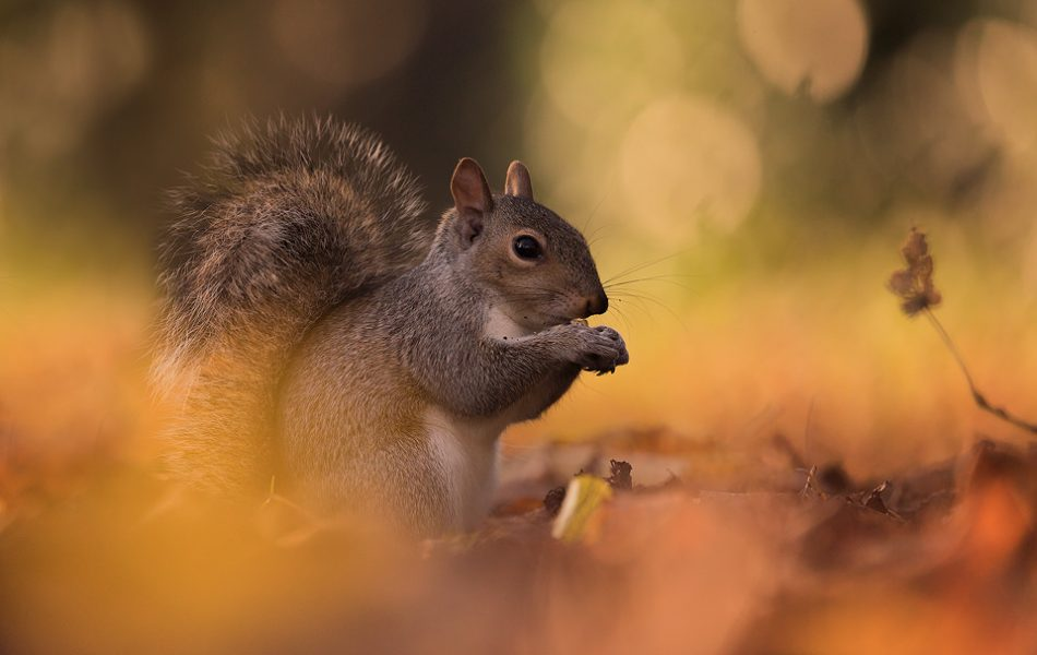 Grey Squirrel in Autumn Leaf Litter - UK wildlife Photography