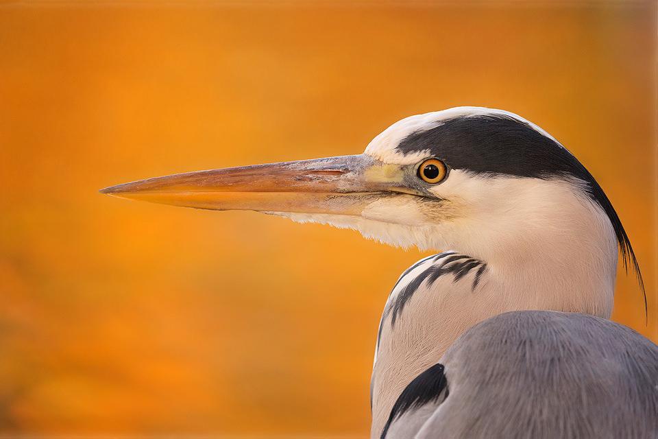Autumn Heron - UK Wildlife Photography