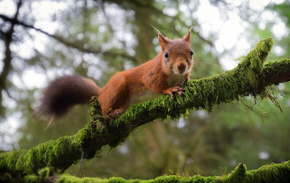 Red Squirrel portrait taken with a wide angle lens on full frame.