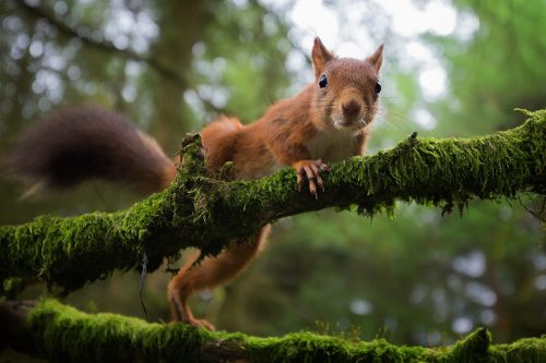Red Squirrel – Wide Angle View