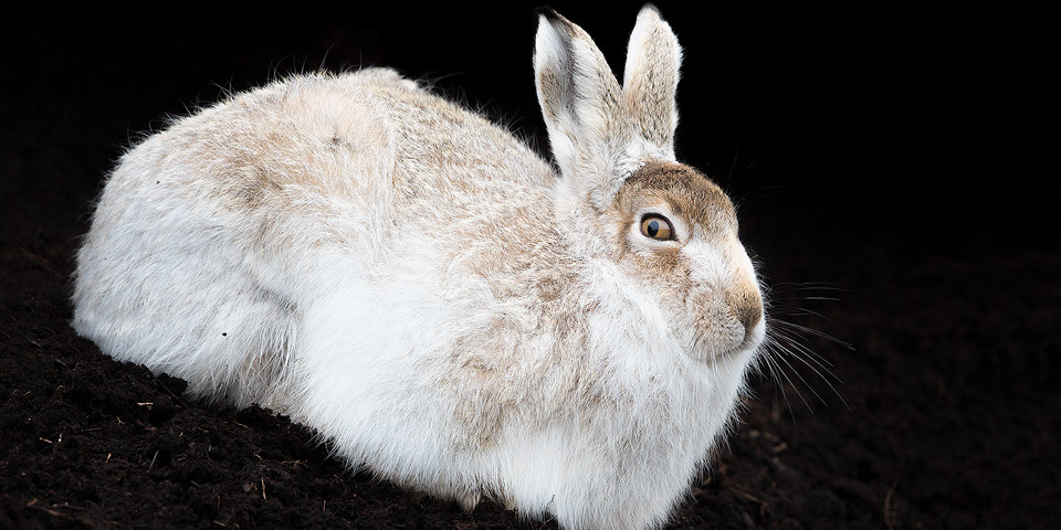 Mountain Hare in Peat Grough