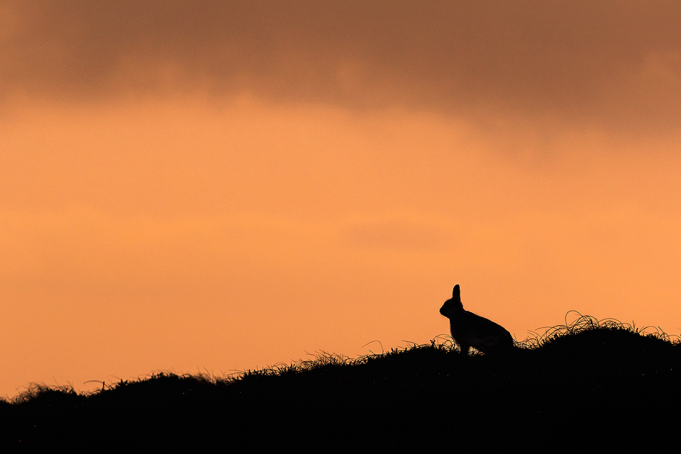 Mountain Hare Silhouette
