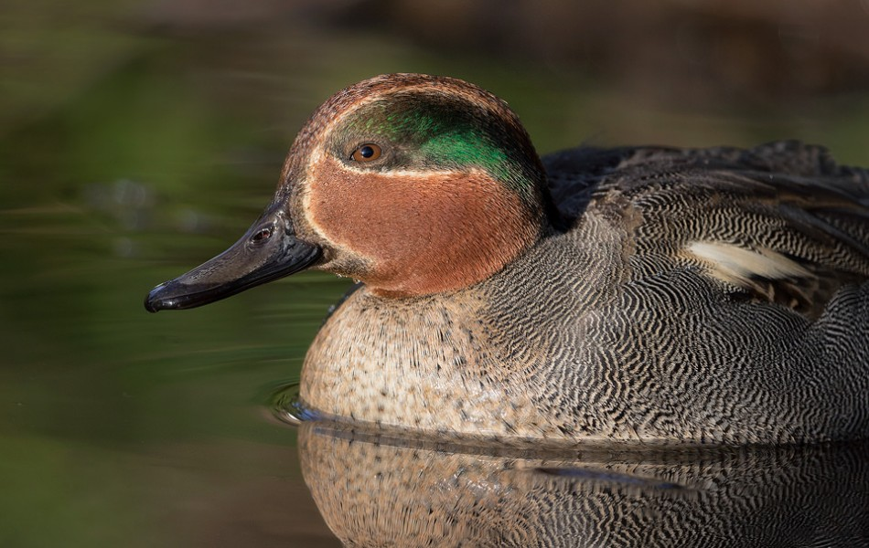 Close up of a teal drake, showing the stunning colour that gives these tiny ducks their name. This image was taken on a small pond in a busy local park. Being surrounded by so many people meant the birds were very habituated and provided some great opportunities.